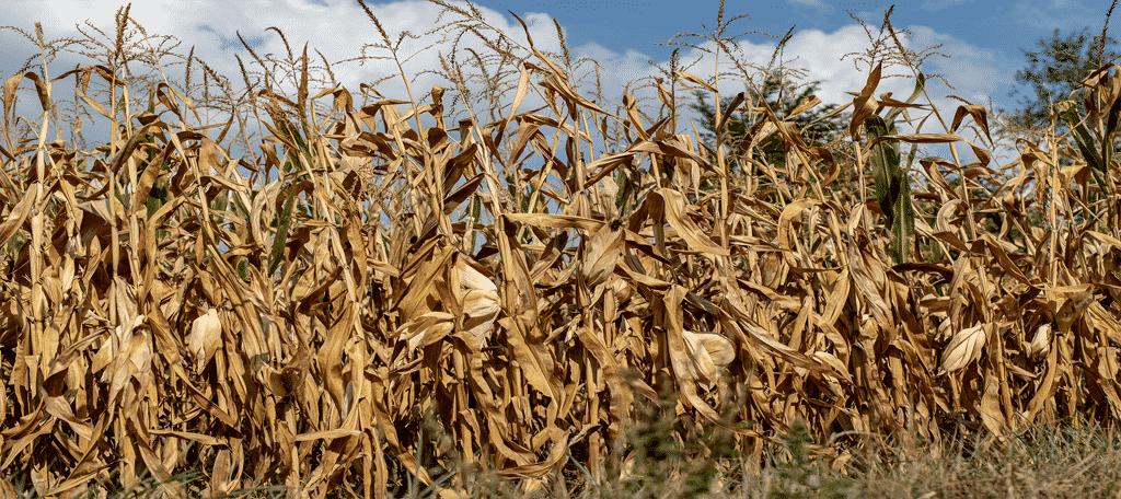 Dead Crops