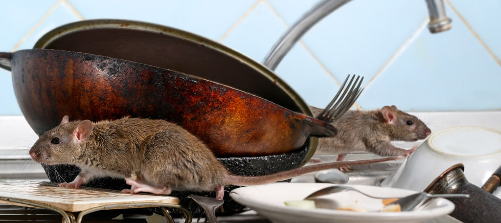 Rats and Diseases