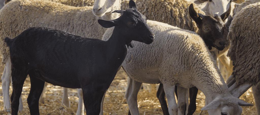 Goats Eating